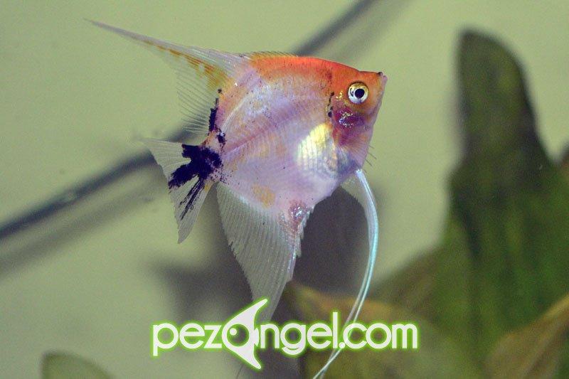 fotos del pez angel escalar