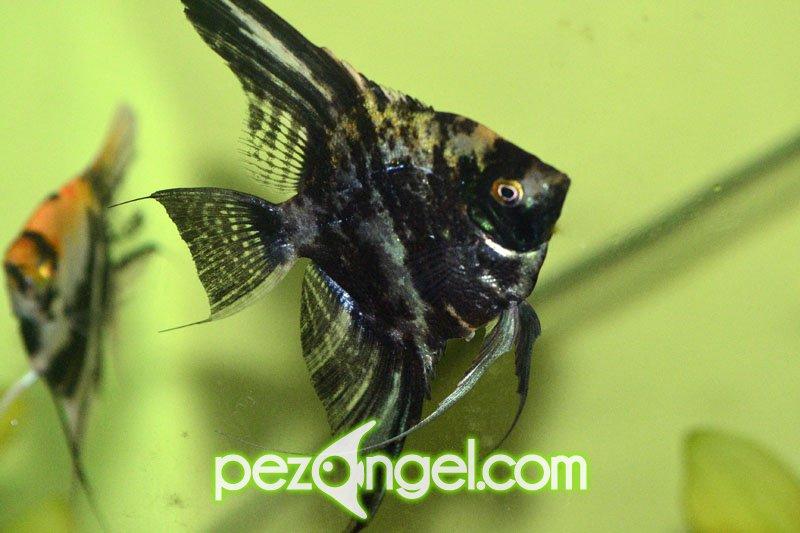 Alimentaci n del pez angel pterophyllum escalar for Pez escalar enfermedades