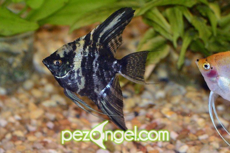 Cuidado b sico pez angel pterophyllum escalar for Pez escalar enfermedades