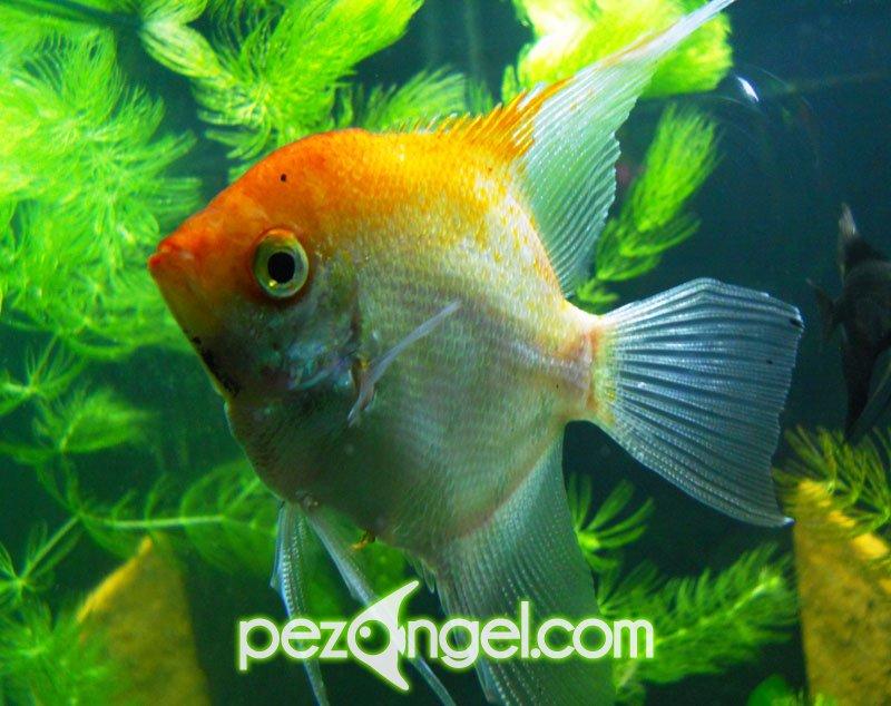 El acuario para el pez angel for Mi pez nada de lado