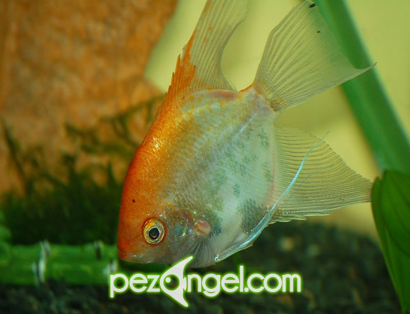 Pez Angel | Pterophyllum Scalare