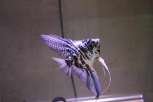 Pez Angel Marmol Zebra Azul