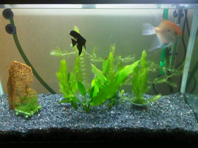 Cuidado b sico pez angel pterophyllum escalar for Acuarios pequenos