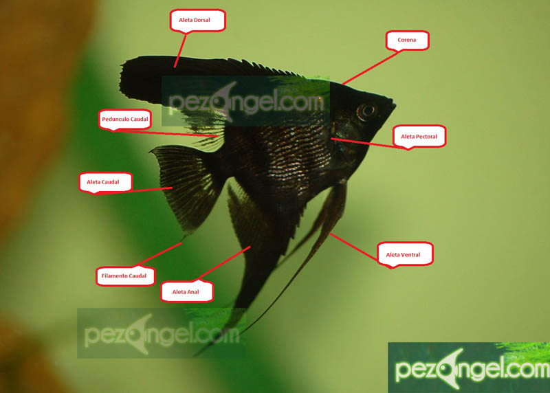 Características del Pez Angel   Pterophyllum Escalar
