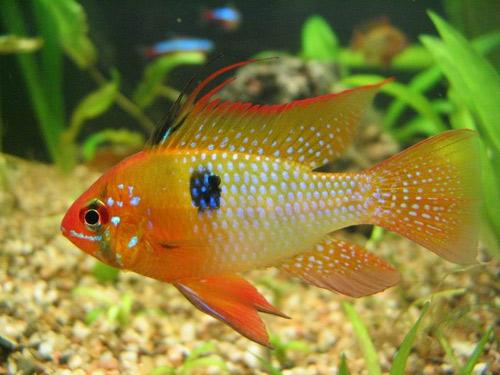 peces compatibles con los pez angel escalar