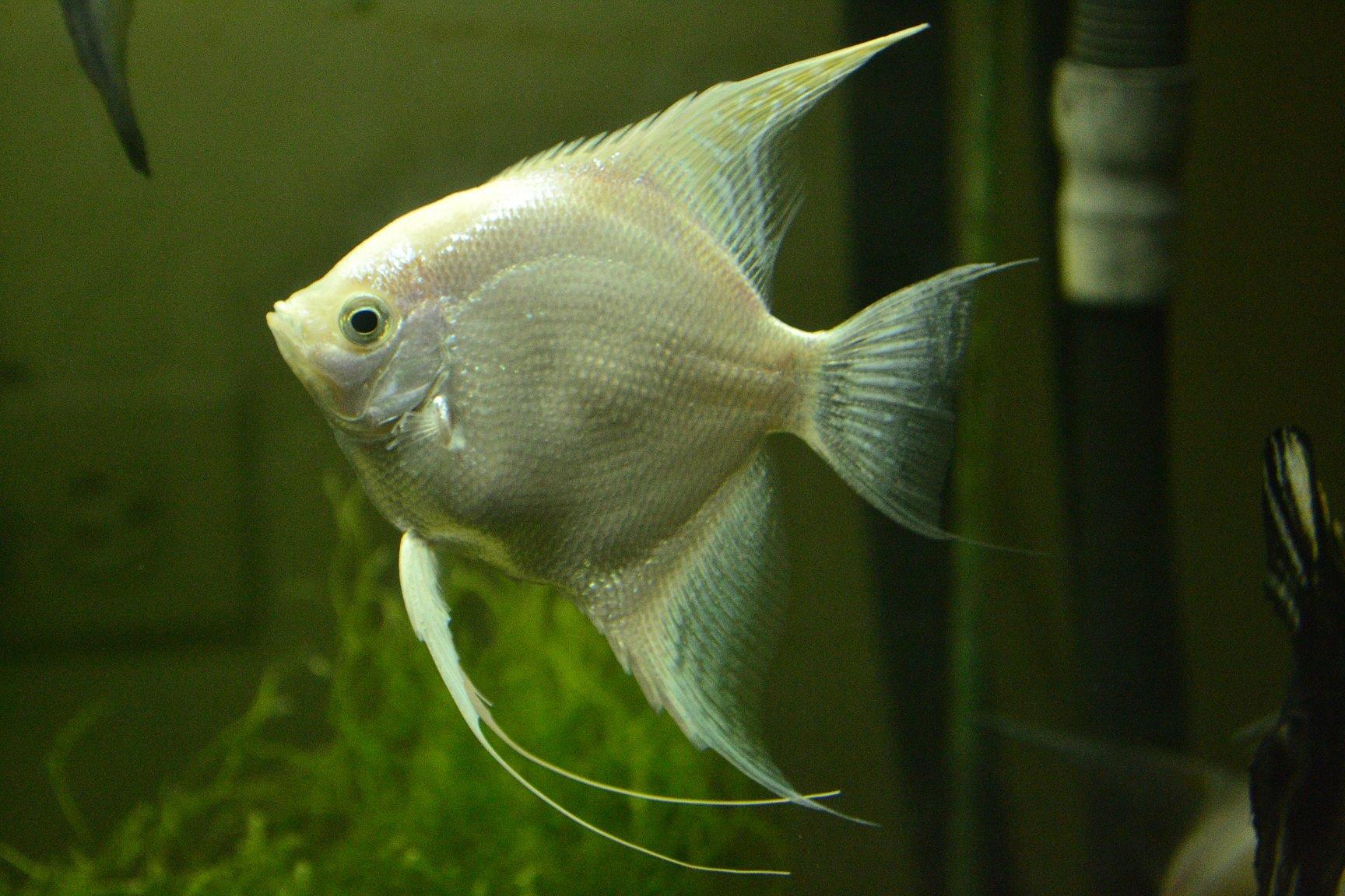 Acuaro hospital para el pez angel for Como cuidar peces de agua fria