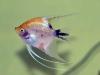 pez-angel-3