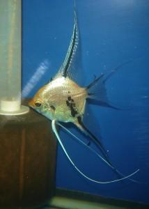 pez angel marmol fantasma
